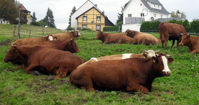 Unsere Kühe